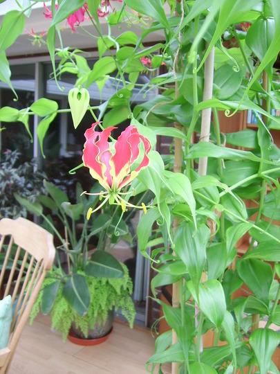 Gloriosa rothschildiana - The Glory Lily (Gloriosa rothschildiana)