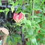 Gloriosa rothschildiana - The Glory Lily (Gloriosa rothschildiana)