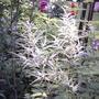False goatsbeard (astilbe) plumes (Astilbe biternata)