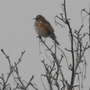 Is this a Redwing??????