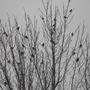 Treeful of Redwings..........