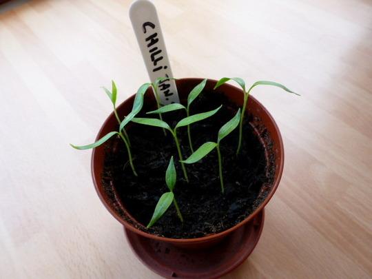 Chilli seedlings ......