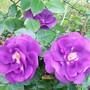 18_6_3.jpg (Rosa glauca (Shrub rose))