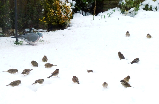 LOTS OF SPARROWS  :o)))