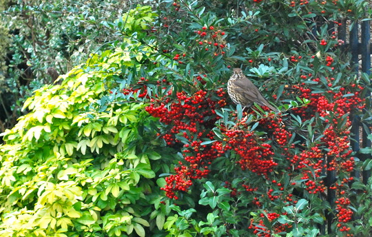 Well can I eat them or not? (Pyracantha angustifolia (Fire Thorn) red .)
