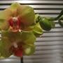 Greeny yellow Phalaenopsis (Phalaenopsis aphrodite)