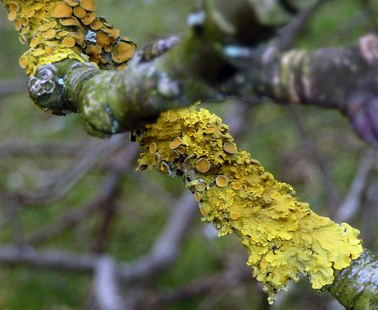lichen  Cushion Xanthoria