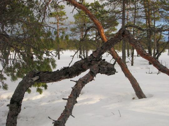 2011,märts,raba on hea koht,et suvel korjata siit Vaccinium myrtillus marju