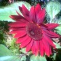 Red sunflower has amazed our neighbours in Hungary (Helianthus annuus (Sunflower))