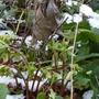 hellebore flower buds (Helleborous)