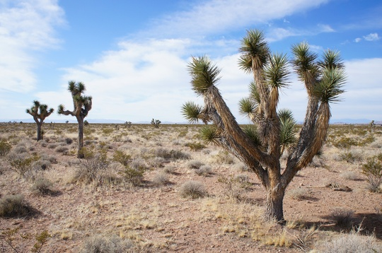 Yucca brevifolia from a Recent Trip (Yucca brevifolia (Joshua Tree))