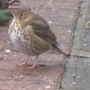 A rare visit from a thrush