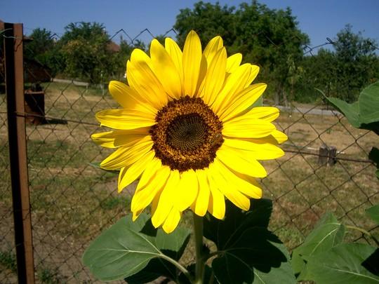 Real hungarian sunflower (Helianthus annuus (Sunflower))