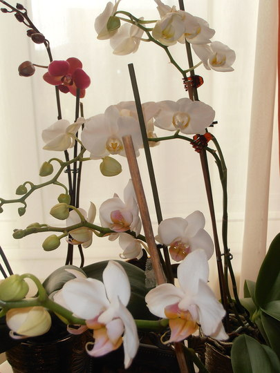 Three of my Phals in bloom