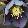 Helleborus_queen_of_spades_1