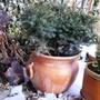 Serbian spruce (Picea omorika (Serbian spruce))
