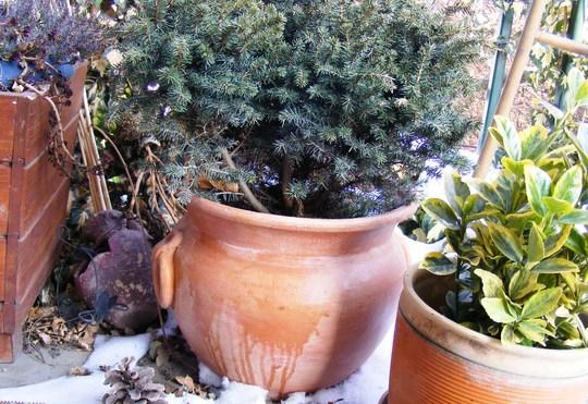 Serbian spruce on my terrace. (Picea omorika (Serbian spruce))
