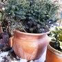 Serbian spruce on my terrace. (Picea omorika (Serbian spruce))