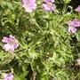 Geraniumoxonianum_wargrave_pink_vistabilesidepath19.06.08