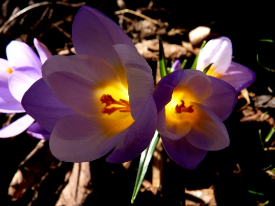 When crocus do this, I have to smile! :)