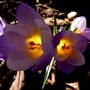 When crocus do this, I have to smile! :) (Crocus)