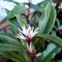 Sarcococca hookeriana (Sweet box)