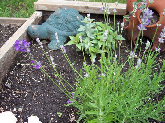 Lavender in the herb garden (lavendula angustifolia)