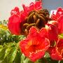Spathodea campanulata - African Tulip Tree Flower (Spathodea campanulata - African Tulip Tree)