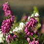 Heathers in my garden