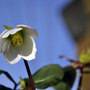Good morning:) (Helleborus niger (Christmas rose))