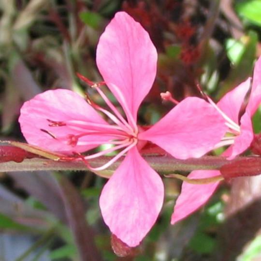 Gaura (Gaura lindheimeri)
