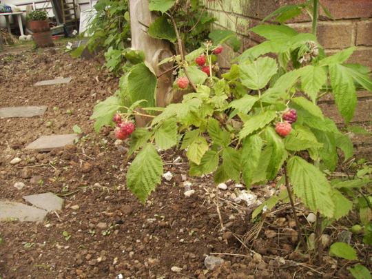 Raspberries Ripening 06.08 (Rubus idaeus)