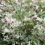Salix Hakuro Nishiki (Salix integra)