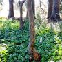 Japanese Stewartia (Stewartia pseudocamellia)