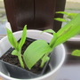 Bletilla Striata looking promising. (Bletilla striata (Bletilla))