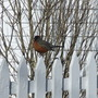 Robin_feb_4_2
