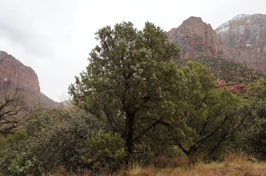Juniper in Fruit: Zions National Park USA