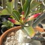 Adenium obesum - Desert Rose flower buds (Adenium obesum - Desert Rose)