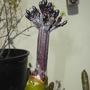 Plumeria rubra 'Hilo Beauty' - Hilo Beauty Plumeria Flower Spike (Plumeria rubra 'Hilo Beauty' - Hilo Beauty Plumeria)