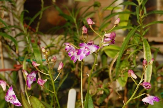 """Dendrobium """"Berry Oda"""" (Dendrobium kingianum x Dendrobium 'Mini Pearl')"""