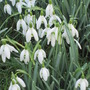 lovely Snowdrops.