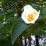 Japanese Stewartia flower (Stewartia pseudocamellia)