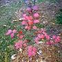 Japanese Stewartia fall color (Stewartia pseudocamellia)