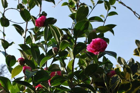Camellias enjoying the sunshine..... (Camellia)
