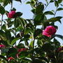 Camellias enjoying the sunshine..... (Camellia williamsii Debbie.)