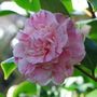 Close up of the Pink and White Camellia... (Camellia japonica (Camellia)?)