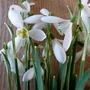 Galanthus Nivalis...for my catalogue (Galanthus Nivalis)