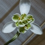 Galanthus Nivalis flore pleno (Galanthus Nivalis flore pleno)