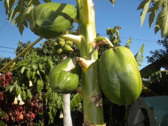 Papaya carica 'Thai Dwarf' - Thai Dwarf Papaya Fruit (Papaya carica 'Thai Dwarf' - Thai Dwarf Papaya)