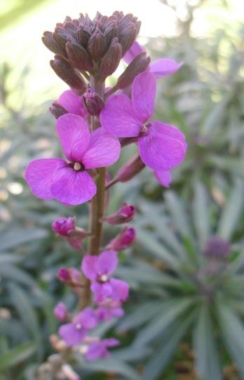 Erysimum 'Bowles Mauve' (Erysimum bicolor (Bowles' perennial wallflower))